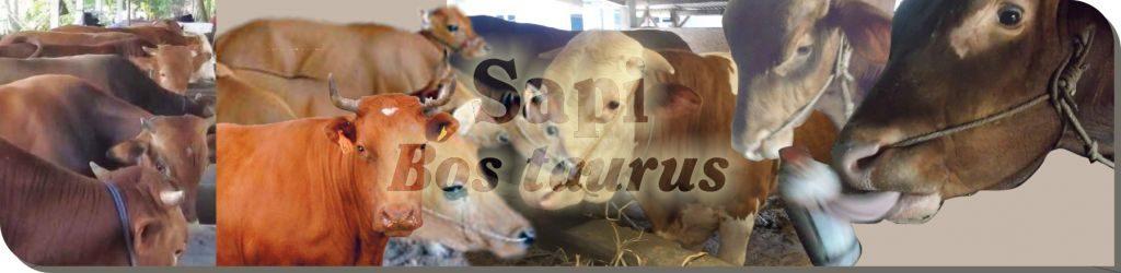 budidaya sapi, ternak sapi, penggemukan sapi, sapi potong, ternak sapi potong