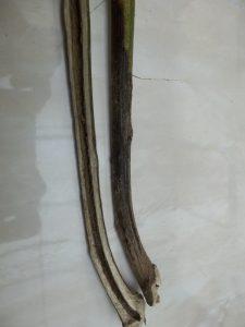 Batang tanaman yang terkena penyakit layu