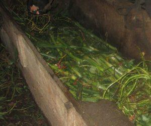 Selain jerami rumput gajah menjadi salah satu makanan yang disukai sapi