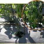 Gliocladium Selamatkan Panen dari Serangan Jamur Merugikan