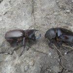 Kumbang Kelapa (Oryctes Rhinoceros)