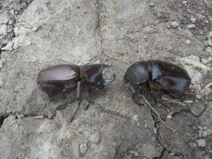 kumbang tanduk ( Oryctes rhinocerus ) yang menyerang kelapa sawit