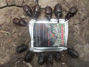 richtes renocheros hama kumbang tanduk yang dikenalikan dengan agens hayati mosa meta supermeta dari semenjak larva atau uret