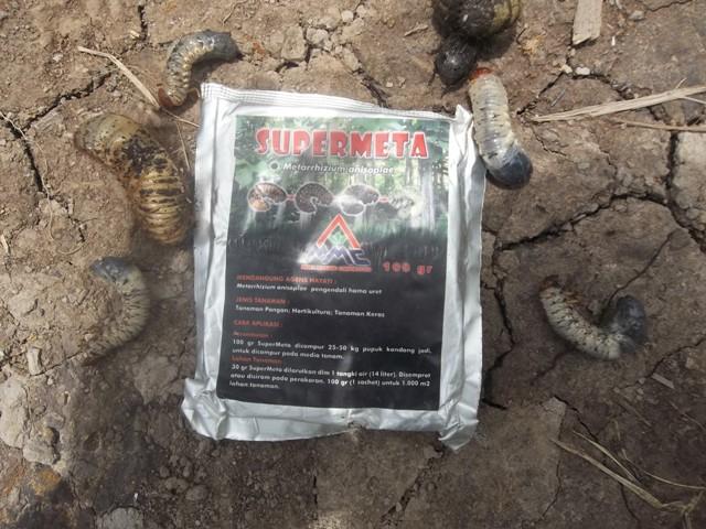 agens-hayati-mosa-meta-supermeta-yang-terbukti-ampuh-mengendalikan-uret-atau-larva-hama-kumbang-tanduk-pada-sawit