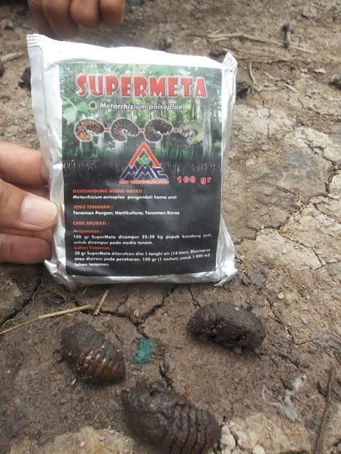 supermeta mosameta vs larva hama kumbang tanduk