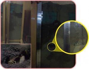 Percobaan labolatorium kedalaman infeksi mosa meta (supermeta) terhadap larva (uret gayas lundi)
