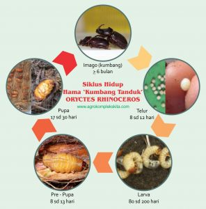 siklus hidup hama kumbang tanduk