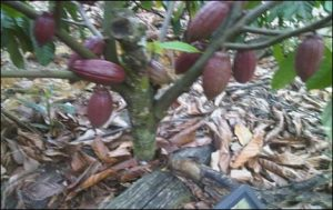 Tanaman kako yang sudah mengalami pemangkasan sehingga buah menjadi lebat dan dekat dengan tanah
