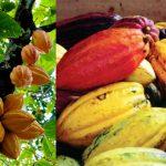 Pedoman Budidaya Kakao (Theobroma cacao)