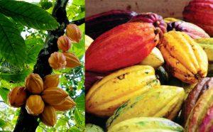 tanaman kakao, kakao, pohon kakao, coklat, pohon coklat. buidaya kakao, budidaya cokelat