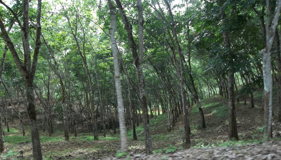 Lahan karet mitra mosa mandiri di Mangunwati