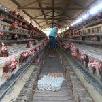 Kombinasi Vitto & Vittoterna-G untuk ayam petelur guna produktifitas tinggi