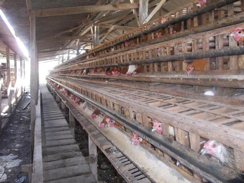 sirkulasi udara dalam kandang ayam petelur harus lancar, agar ayam tidak gampang stress dan sakit