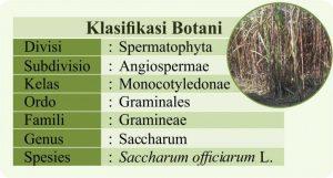 klasifikasi tanaman tebu