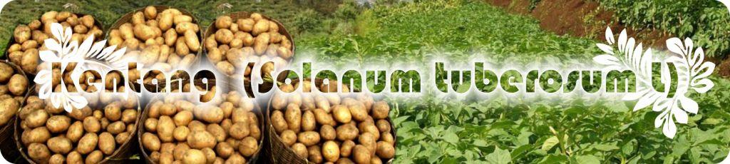 Budidaya kentang dengan teknologi organik