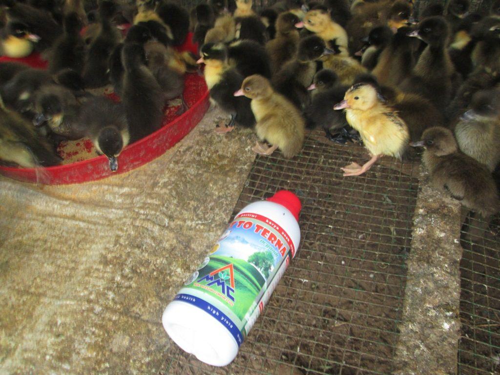 pemberian Vitto pada DOD - budidaya bebek