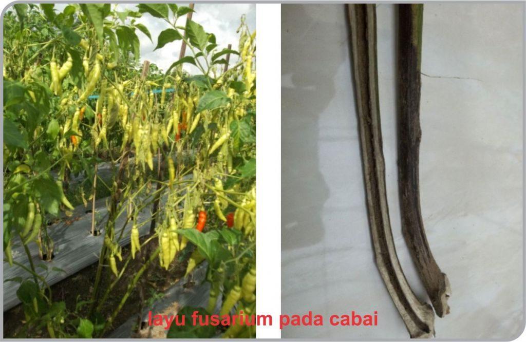 layu fusarium pada cabai, layu cabai, tanaman cabai layu mendadak, penyakit layu, cabai layu, layu cabai, fusarium pada cabai, fusarium pada cabai, layu pada cabe