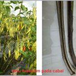 Fusarium pada Tanaman Cabai