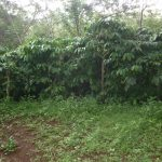 Jadwal pemupukan Budidaya tanaman kopi, (Coffea sp )