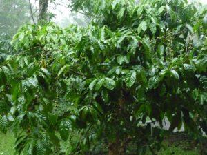 kebun kopi juga dapat jadi ajang agrowisata kopi