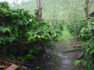 budidaya kopi robusta agribisnis kopi