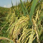 Memahami Zat Perangsang Tumbuh bagi Produktifitas Padi