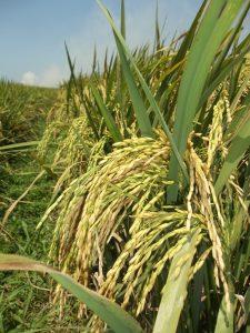 padi dengan jumlah anakan dan bulir yang banyak serta bernas menjadi keinginan petani kita