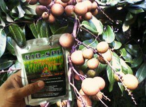 bio-spf untuk kelengkeng