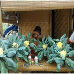 Budidaya Kobis Krop, Bunga Kol dan Brokoli – Bag I – Jenis-jenis, Persiapan lahan dan Penanaman