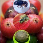 Hama Penggerek buah kopi (Stephanoderes hampei / Hypothenemus hampei)