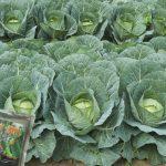 Budidaya Kobis Krop,  Bunga Kol, Brokoli, Bag III – Pengendalian Hama Dan Penyakit