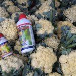 Budidaya Kobis Krop,  Bunga Kol, Brokoli, Bag II – Pemupukan sd Panen