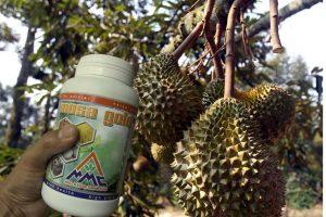budidaya durian dan pupuk organik padat mosa gold