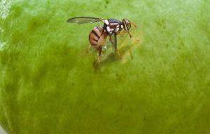 lalat buah pada jambu biji