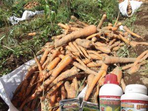 budidaya wortel dengan teknologi organik mmc