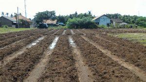 foto persiapan lahan pada budidaya wortel