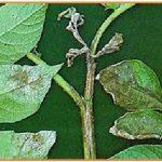 hama penghisap cairan daun muda Pada Kentang.