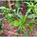 Daun keriting pada tanaman cabai akibat serangan hama tungau