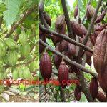 Perawatan Tanaman Pada Budidaya Kakao