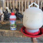 Sekilas Cara Beternak Ayam Kampung
