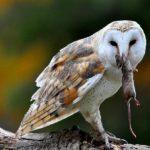 Burung Hantu untuk Mengendalikan Tikus