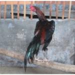 Menggali Rupiah Dari Peternakan Ayam Kampung
