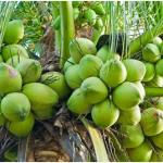 Bertanam Kelapa Produksi Melimpah Dengan Teknologi Organik