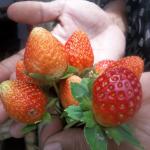 Asal Usul Dan Cara Mengenal Tanaman Buah Cantik & Bermanfaat : Strawberry/Stroberry-Fragaria chiloensis/Vesca L