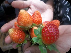 Buah Strawberry sehat adalah yang Berwarna Merah Cerah, Daging Buah Segar, harum, Daging Buah Banyak dan Cukup Air
