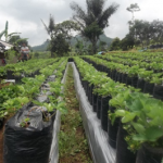Syarat Menanam Buah Stroberry/Strawberry (Fragaria chiloensis/Vesca L) Agar Tanaman Buah Tumbuh Baik, Subur dan Berbuah Banyak