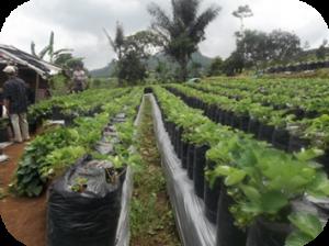 Kebun Buah Stroberry Yang tertata Rapih dan Indah akan membuat suasana Kebun Menjadi Lebih nyaman