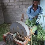 Cara Pembuatan Pakan Fermentasi Untuk Sapi