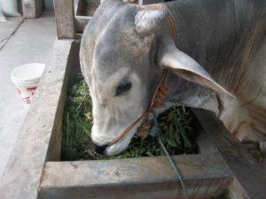 Sapi Memakan Rumput Gajah yang Telah Dicacah, Kegunaan Mencacah Rumput agar Mudah dicerna Oleh Sapi dan Nutrisinya Tidak Terbuang Sia-Sia