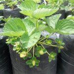 Budidaya Stroberry (Fragaria chiloensis/Vesca L) – Bag I – Kesesuaian iklim & Media tanam